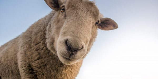 4th Sunday of Easter -Unraveling the Sheep Stereotype